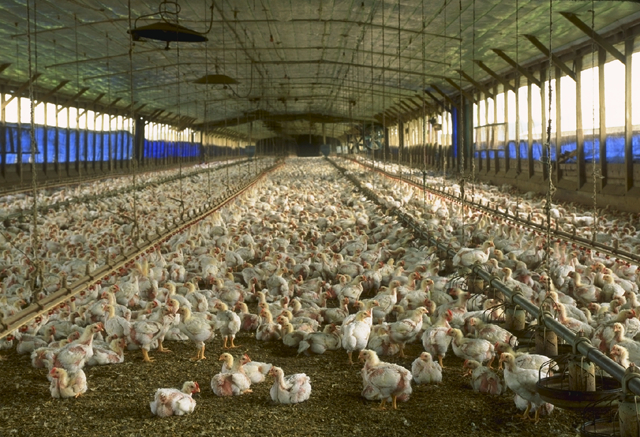 Intensive poultry production